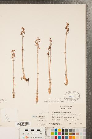 (Corallorhiza - CCDB-23122-C03)  @11 [ ] Copyright (2015) Deb Metsger Royal Ontario Museum