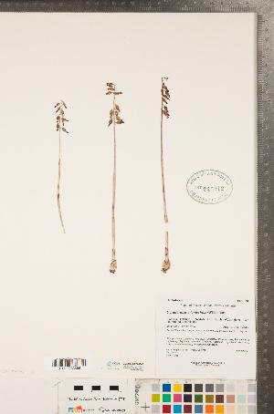 (Corallorhiza - CCDB-23122-B03)  @11 [ ] Copyright (2015) Deb Metsger Royal Ontario Museum