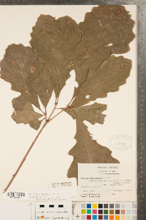 ( - CCDB-23122-F04)  @11 [ ] Copyright (2015) Deb Metsger Royal Ontario Museum