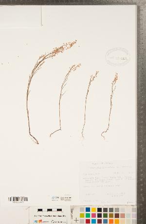 (Polygonum articulatum - CCDB-23122-D05)  @11 [ ] Copyright (2015) Deb Metsger Royal Ontario Museum