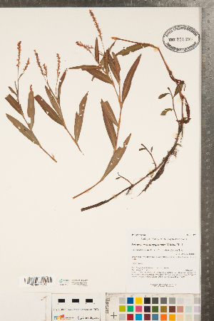 (Persicaria - CCDB-23122-H07)  @11 [ ] Copyright (2015) Deb Metsger Royal Ontario Museum