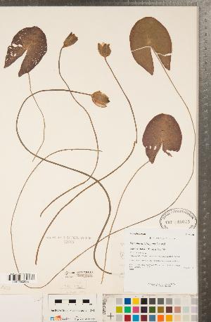 (Nymphaea tetragona - CCDB-23324-H01)  @11 [ ] Copyright (2015) Deb Metsger Royal Ontario Museum