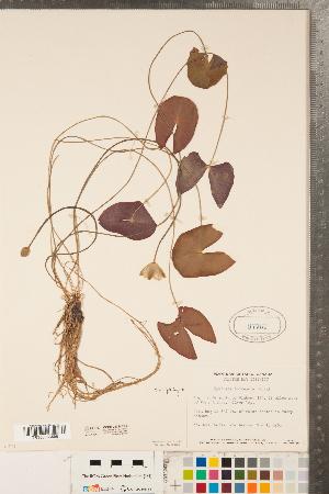 (Nymphaea tetragona - CCDB-23324-F01)  @11 [ ] Copyright (2015) Deb Metsger Royal Ontario Museum