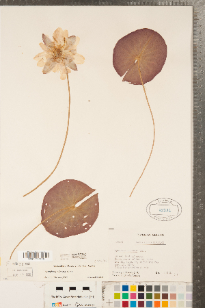 (Nymphaea odorata - CCDB-23324-A01)  @11 [ ] Copyright (2015) Deb Metsger Royal Ontario Museum