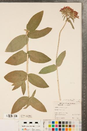(Silene chalcedonica - CCDB-23324-B02)  @11 [ ] Copyright (2015) Deb Metsger Royal Ontario Museum