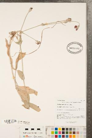 (Silene coronaria - CCDB-23324-G03)  @11 [ ] Copyright (2015) Deb Metsger Royal Ontario Museum