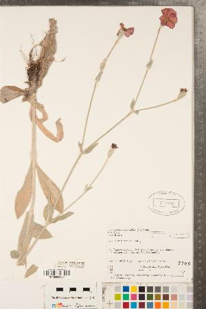 (Silene coronaria - CCDB-23324-E03)  @11 [ ] Copyright (2015) Deb Metsger Royal Ontario Museum