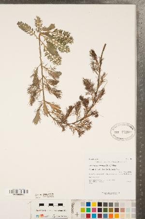 (Rorippa aquatica - CCDB-23324-D03)  @11 [ ] Copyright (2015) Deb Metsger Royal Ontario Museum