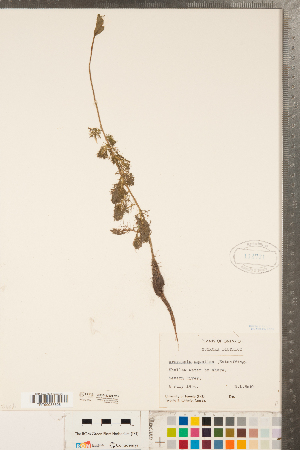 (Rorippa aquatica - CCDB-23324-C03)  @11 [ ] Copyright (2015) Deb Metsger Royal Ontario Museum