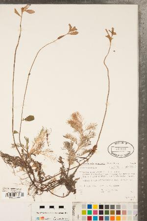 (Rorippa aquatica - CCDB-23324-B03)  @11 [ ] Copyright (2015) Deb Metsger Royal Ontario Museum