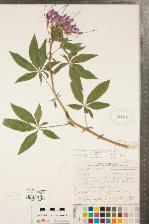 (Tarenaya - CCDB-23324-F04)  @11 [ ] Copyright (2015) Deb Metsger Royal Ontario Museum