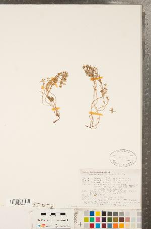 (Sedum hispanicum - CCDB-23324-B04)  @11 [ ] Copyright (2015) Deb Metsger Royal Ontario Museum