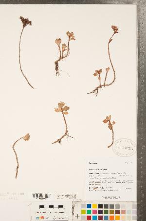 (Phedimus - CCDB-23324-D05)  @11 [ ] Copyright (2015) Deb Metsger Royal Ontario Museum