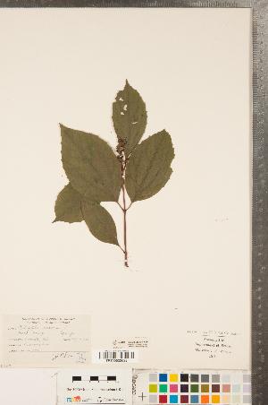 (Philadelphus - CCDB-23324-H06)  @11 [ ] Copyright (2015) Deb Metsger Royal Ontario Museum