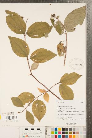(Philadephoideae - CCDB-23324-E06)  @11 [ ] Copyright (2015) Deb Metsger Royal Ontario Museum