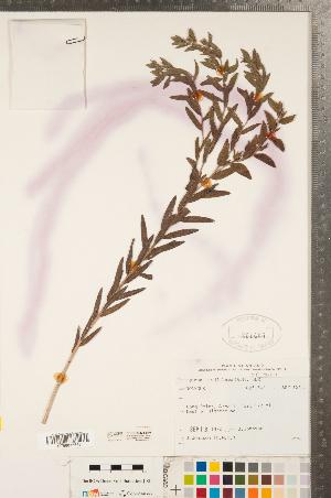 (Lithospermum caroliniense - CCDB-23324-B10)  @11 [ ] Copyright (2015) Deb Metsger Royal Ontario Museum
