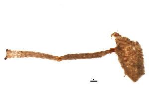 (Thalamoporellidae - 609502V04.1b)  @11 [ ] CreativeCommons - Attribution Non-Commercial Share-Alike (2011) CBG Photography Group Centre for Biodiversity Genomics