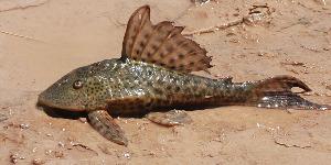 (Hypostomus sp - CREG ECOMOL AR11-453)  @15 [ ] Copyright (2012) UNLP Universidad Nacional de La Plata