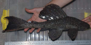 (Hypostomus sp - CREG ECOMOL YC10-338)  @15 [ ] Copyright (2012) UNLP Universidad Nacional de La Plata