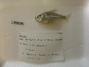(Astyanax cf. erythropterus - CREG ECOMOL YC10-539)  @11 [ ] Copyright (2012) UNLP Universidad Nacional de La Plata