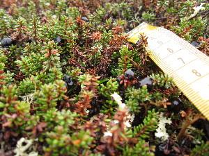 (Empetrum nigrum subsp hermaphroditum - MLTV07)  @11 [ ] Copyright (2011) Malie Lessard-Therrien Unspecified