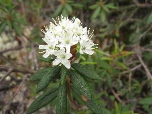 (Rhododendron groenlandicum - MLTV71)  @11 [ ] Copyright (2011) Malie Lessard-Therrien Unspecified
