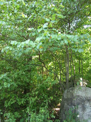 (Amelanchier arborea ssp laevis - MLTV77)  @11 [ ] Copyright (2011) Malie Lessard-Therrien Unspecified