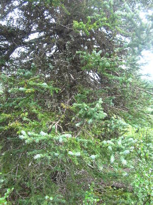 (Picea glauca - MLTI88)  @14 [ ] Unspecified (default): All Rights Reserved  Unspecified Unspecified