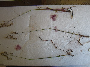 ( - TJD-665)  @11 [ ] CreativeCommons - Attribution Non-Commercial (2013) MTMG McGill University Herbarium