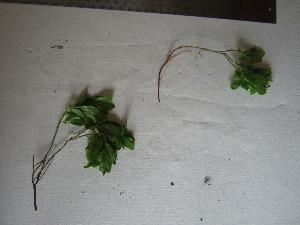 ( - TJD-670)  @11 [ ] CreativeCommons - Attribution Non-Commercial (2013) MTMG McGill University Herbarium