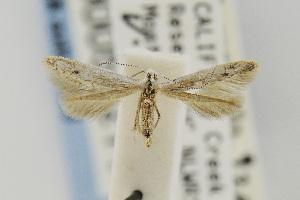 (Coleophora JFL280 - CNCLEP00055211)  @14 [ ] Copyright (2011) Jean-Francois Landry Canadian National Collection