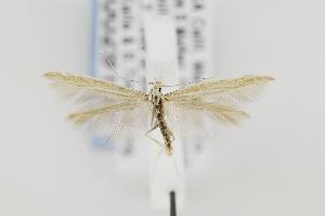 (Coleophora JFL211 - CNCLEP00029155)  @14 [ ] Copyright (2011) Jean-Francois Landry Canadian National Collection