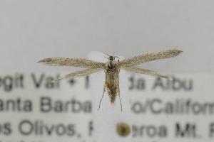 (Coleophora JFL308 - CNCLEP00098261)  @12 [ ] Copyright (2013) Jean-Francois Landry Canadian National Collection