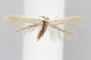 (Coleophora quadruplex - BIRD18975)  @15 [ ] Copyright (2007) Unspecified Canadian National Collection