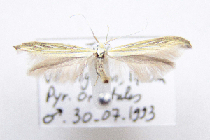 (Coleophora nevadella - CNCLEP00111101)  @11 [ ] Copyright (2014) Jean-Francois Landry Canadian National Collection