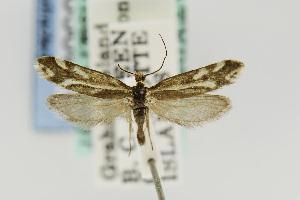 (Greya variabilis - USNMENT00656810)  @13 [ ] Copyright (2011) Jean-Francois Landry Canadian National Collection