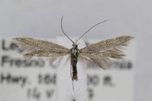 (Coleophora JFL294 - CNCLEP00068553)  @14 [ ] Copyright (2013) Jean-Francois Landry Canadian National Collection