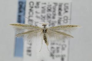 (Coleophora JFL298 - CNCLEP00097187)  @13 [ ] Copyright (2013) Jean-Francois Landry Canadian National Collection