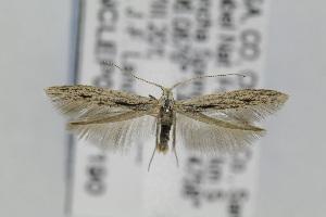 (Coleophora JFL207 - CNCLEP00097190)  @14 [ ] Copyright (2013) Jean-Francois Landry Canadian National Collection