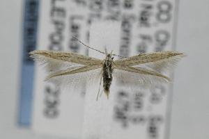 (Coleophora JFL295 - CNCLEP00097230)  @14 [ ] Copyright (2013) Jean-Francois Landry Canadian National Collection