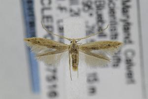 (Coleophora JFL299 - CNCLEP00097516)  @13 [ ] Copyright (2013) Jean-Francois Landry Canadian National Collection