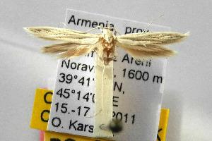 (Coleophora alabardata - CNCLEP00111716)  @13 [ ] CreativeCommons - Attribution Non-Commercial Share-Alike (2014) Giorgio Baldizzone Research Collection of Giorgio Baldizzone