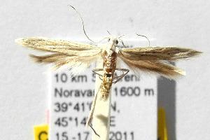 (Coleophora alabardata - CNCLEP00111717)  @13 [ ] Copyright (2014) Giorgio Baldizzone Research Collection of Giorgio Baldizzone