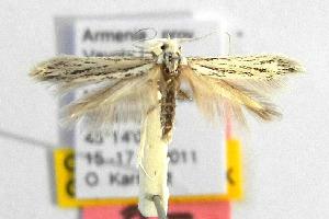 (Coleophora maculata - CNCLEP00111721)  @13 [ ] Copyright (2014) Giorgio Baldizzone Research Collection of Giorgio Baldizzone