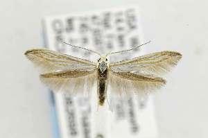 (Coleophora sacramenta - CNCLEP00082698)  @15 [ ] Copyright (2011) Jean-Francois Landry Canadian National Collection