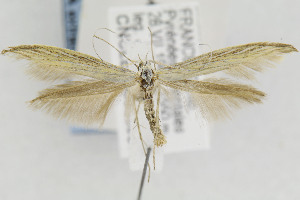 (Coleophora nevadella - CNCLEP00033957.1)  @11 [ ] Copyright (2013) Jean-Francois Landry Canadian National Collection