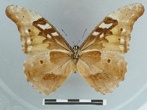 (Morpho rhetenor - CCDB-08662-F11)  @11 [ ] CreativeCommons - Attribution Non-Commercial Share-Alike (2014) Muséum national d'Histoire naturelle Muséum national d'Histoire naturelle