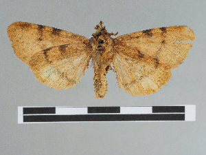 (Canararctia - CCDB-08662-G07)  @11 [ ] CreativeCommons - Attribution Non-Commercial Share-Alike (2014) Muséum national d'Histoire naturelle Muséum national d'Histoire naturelle