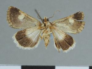 (Epharmottomena - CCDB-09453-C08)  @11 [ ] CreativeCommons - Attribution Non-Commercial Share-Alike (2014) Muséum national d'Histoire naturelle Muséum national d'Histoire naturelle