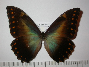 (Morpho hercules diadema - BC-FMP-2171)  @11 [ ] Copyright (2011) Frank Meister Research Collection of Frank Meister